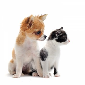 1842291-puppy-chihuahua-and-kitten